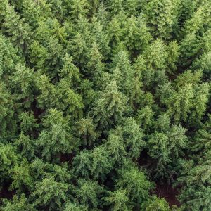 Conifer tree background texture